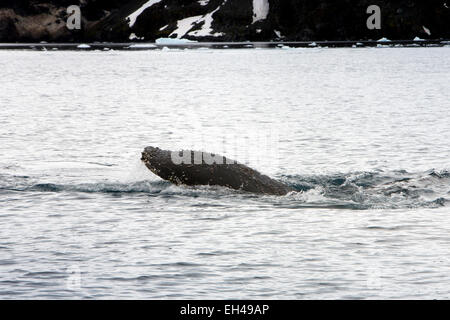 Antarctica, Paradise Bay, barnacles on head of humpback whale Megaptera novaeangliae emerging from water - Stock Photo