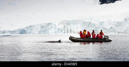 Antarctica, Paradise Bay, minke whale surfacing beside zodiac expedition boat - Stock Photo