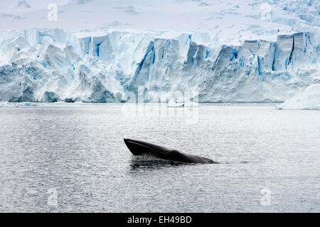 Antarctica, head of minke whale surfacing in Paradise Bay - Stock Photo