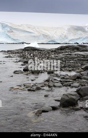 Antarctica, Goudier Island, Port Lockroy, gentoo penguins amongst rocky shoreline - Stock Photo