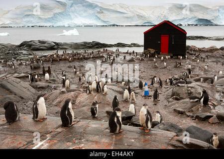 Antarctica, Goudier Island, Port Lockroy, gentoo penguins amongst British base buildings - Stock Photo