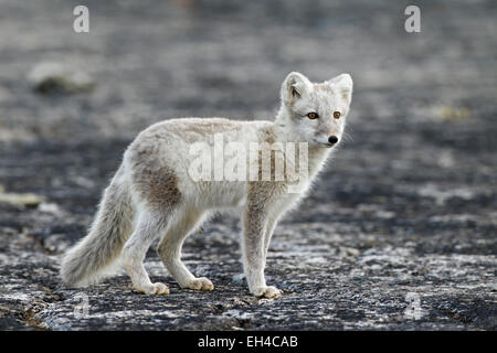 Arctic fox (Vulpes lagopus) in summer coat, Svalbard, Norway - Stock Photo