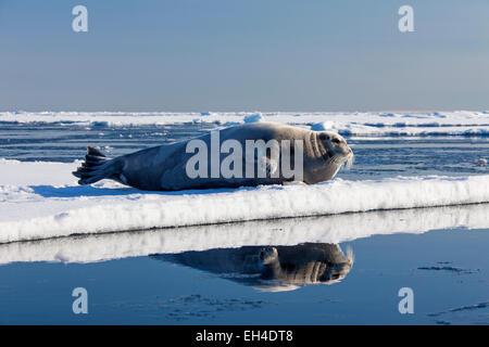 Bearded seal / square flipper seal (Erignathus barbatus) resting on ice floe, Svalbard, Norway - Stock Photo