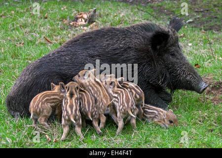 Wild boar (Sus scrofa) sow suckling piglets in spring - Stock Photo