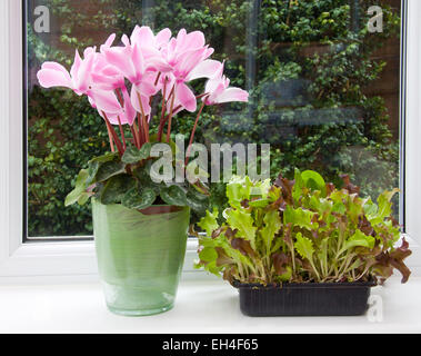 Baby salad leaves growing in a box on the windowsill, for a 'cut and come again' supply. - Stock Photo
