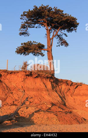 Clinging to the cliff edge, a solitary Scots pine on the cusp of low, soft, orange sandy cliffs at Lepe, Hampshire, - Stock Photo