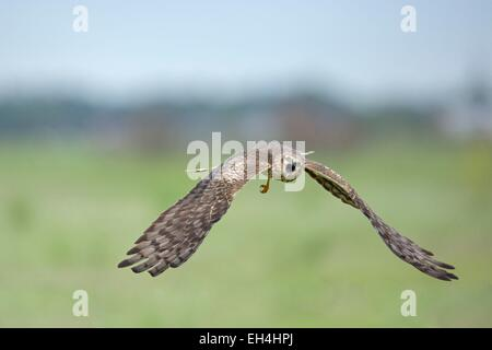 France, Vendee, Noirmoutier, Montagu's Harrier (Circus pygargus) female - Stock Photo