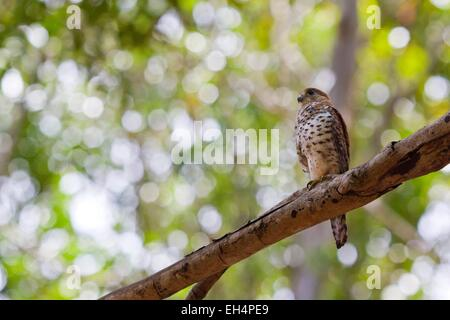 Mauritius, South West Coast, Black River District, the kestrel falcon Maurice (Falco punctatus) is an endemic species - Stock Photo
