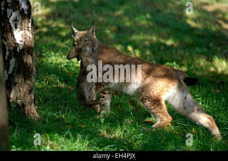 Eurasian lynx (Lynx lynx) with a prey - Stock Photo