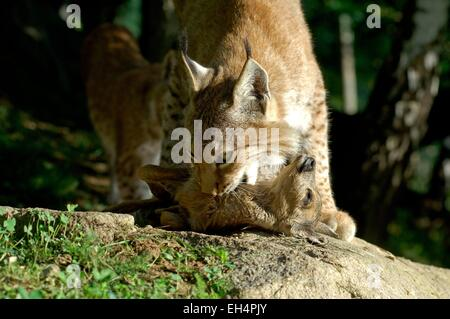 Eurasian lynx (Lynx lynx), eating a prey - Stock Photo