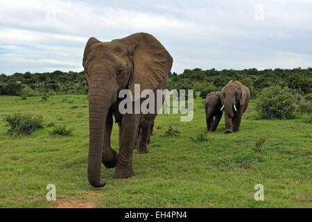 South Africa, Eastern Cape, Addo Elephant National Park, African elephant (Loxodonta africana) - Stock Photo