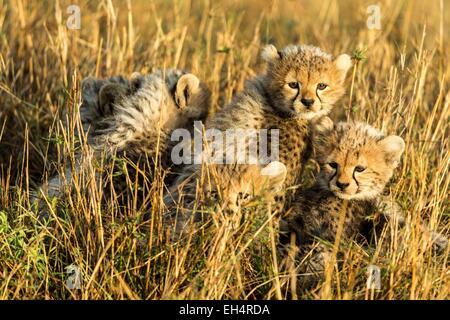 Kenya, Masai Mara game Reserve, cheetah (Acinonyx jubatus), cubs 8/9 weeks old