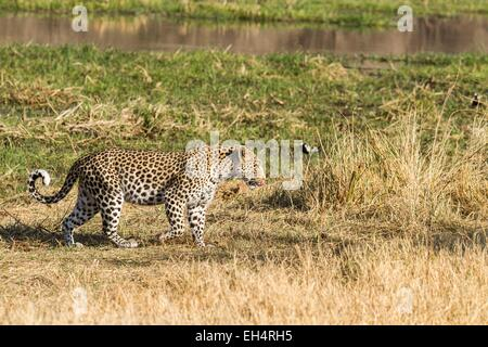 Botswana, Khwai River game reserve, leopard (Panthera pardus), female - Stock Photo