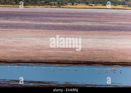 Kenya, Magadi lake, flamant nain, lesser flamingo (Phoeniconaias minor), in flight above soda, aerial view - Stock Photo
