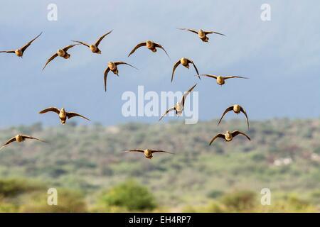 Kenya, lake Magadi, chestnut bellied sandgrouse (Pterocles exustus), at a water point - Stock Photo