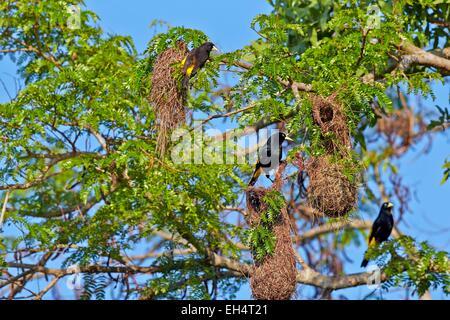 Brazil, Mato Grosso, Pantanal region, Yellow-rumped Cacique (Cacicus cela), nest - Stock Photo