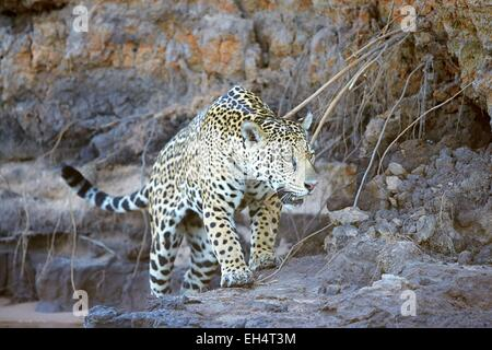 Brazil, Mato Grosso, Pantanal region, jaguar (Panthera onca), walking - Stock Photo