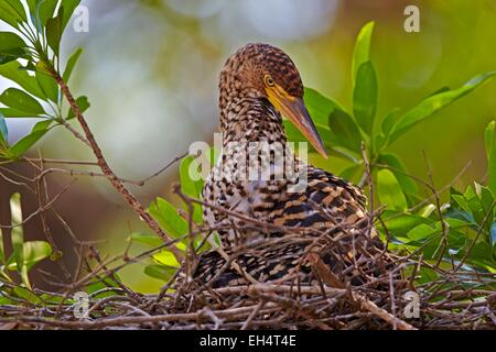 Brazil, Mato Grosso, Pantanal region, Rufescent Tiger Heron (Tigrisoma lineatum), young in the nest - Stock Photo