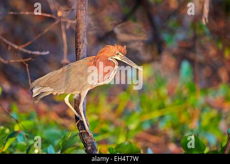 Brazil, Mato Grosso, Pantanal region, Rufescent Tiger Heron (Tigrisoma lineatum), adult - Stock Photo