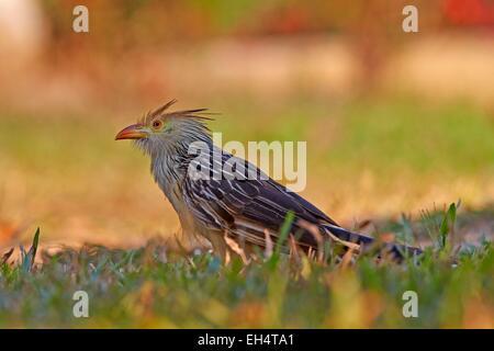 Brazil, Mato Grosso, Pantanal region, guira cuckoo (Guira guira), adult on the ground - Stock Photo