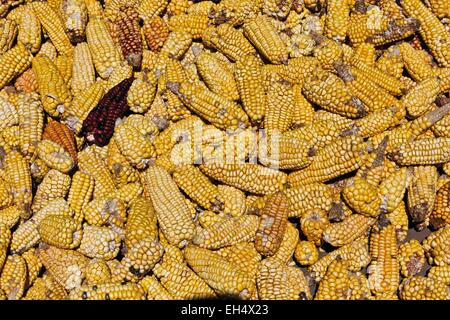 Ecuador, Imbabura, Chilcapamba, Corn cobs drying in the sun outside - Stock Photo