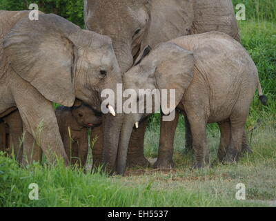 Peaceful family group of African elephants (Loxodonta Africana) of 4 ages including small calf & mother in Ruaha - Stock Photo
