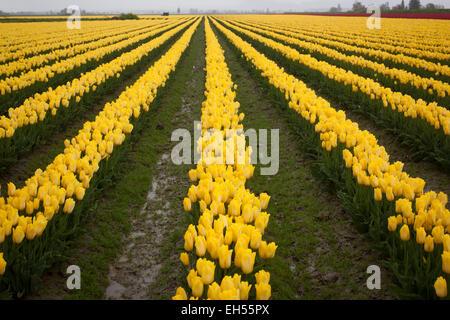 Tulip fields at Laconner,Skaggit County,Washington, USA - Stock Photo