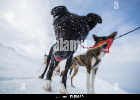 Husky dogs on a sled in Lapland - Stock Photo