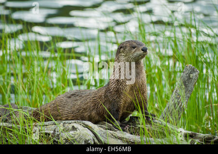 River otter sitting on a log by Trout Lake, Yellowstone National Park, Wyoming, United States. - Stock Photo