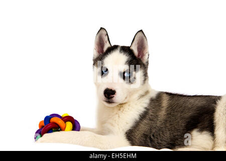 A beautiful Siberian Husky puppy - Stock Photo