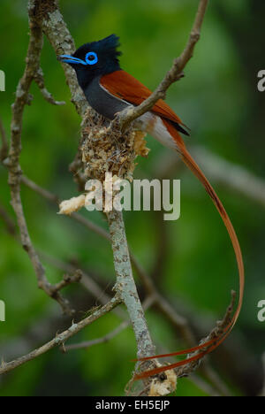 Male Paradise Flycatcher (Terpsiphone paradisi) with its nest on Pongola Game Reserve, Kwa-Zulu Natal, South Africa - Stock Photo