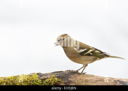 chaffinch female food in bill isolated against white background - Stock Photo