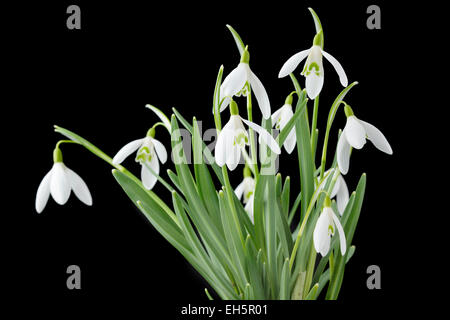 Galanthus nivalis (Common snowdrop) - Stock Photo