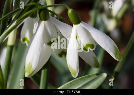 Green markings on the outer petals distinguish this variant of the common snowdrop, Galanthus nivalis 'Viridapice' - Stock Photo