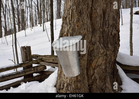 Bucket on old sugar Maple tree in snow covered Ontario forest to collect sap for syrup in March Canada - Stock Photo