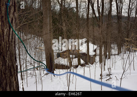 Lines of plastic tubing tapped into sugar Maple trees flowing to a collection tank in a sugar shack in a snowy forest - Stock Photo