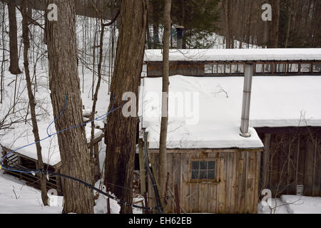 Plastic tubing tapped into sugar Maple trees on a snow covered hill to collect sap to a sugar shack tank Ontario - Stock Photo