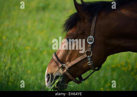 seal brown horse on a meadow eating grass - Stock Photo