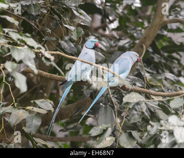 Ring-necked Parakeets (Psittacula krameri), Australia - Stock Photo