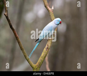 Ring-necked Parakeet (Psittacula krameri), Australia - Stock Photo