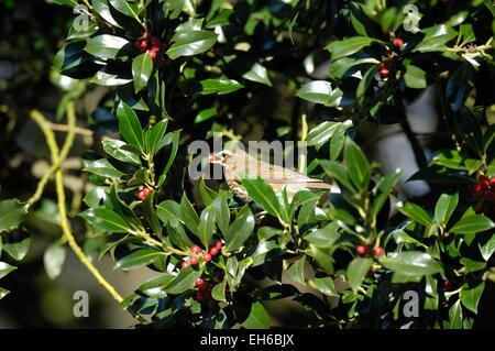 Redwing - Red-winged Thrush (Turdus iliacus) eating berries of Holly (Ilex aquifolium) in winter - Stock Photo