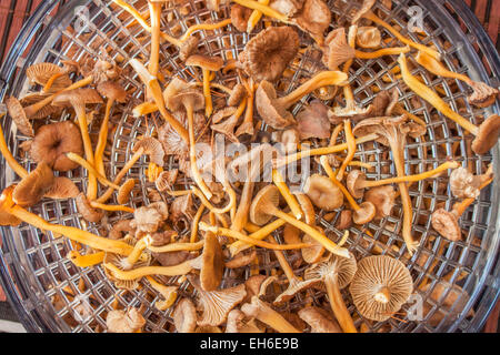 Drying yellowfoots or funnel chantarelle, as they call them - Stock Photo