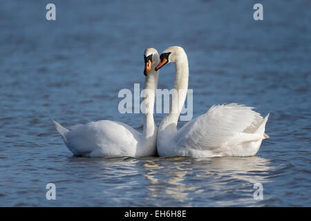 Mute swan, Cygnus olor, two birds courtship display on water, March 2015 - Stock Photo