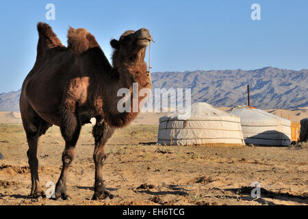 Khongoryn Els Sand Dunes, Camel with Two Humps and Gers/Yurts in the Background, Gobi Desert - Stock Photo