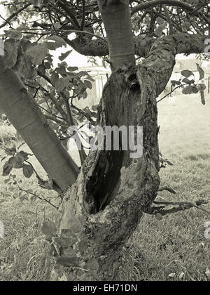 Hole in Apple tree Trunk - Stock Photo