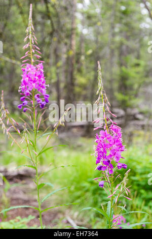 Chamerion angustifolium known as fireweed or great willow-herb.  Perennial herbaceous plant in the willowherb family, - Stock Photo