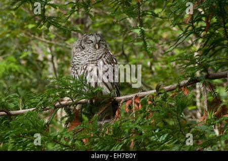 Barred Owl, in daylight,  in an evergreen tree sleeping, taken near Shelton,  Washington USA - Stock Photo