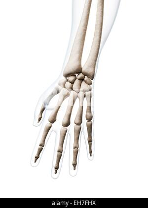 Human Hand Bones Computer Artwork Stock Photo Royalty Free Image