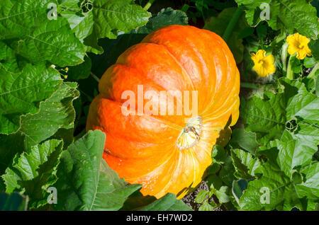 Big orange pumpkins growing in the garden - Stock Photo