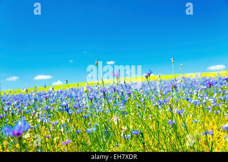 Cornflowers in a field - Stock Photo